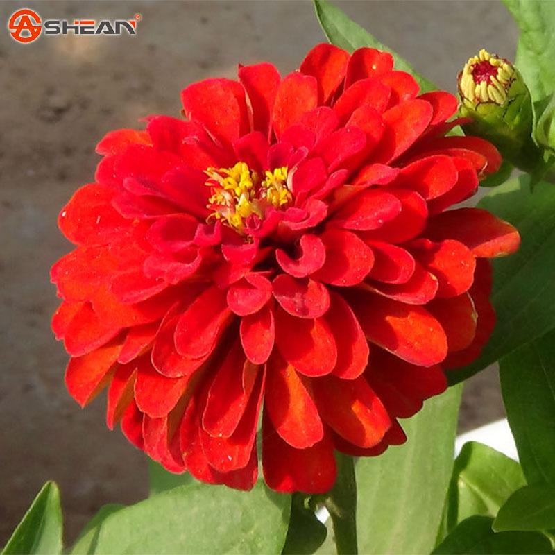 A Pack 100 Pcs Red Zinnia Seed Balcony Courtyard By Flowers Potted Bonsai Zinnia Elegans Seed Plant Flower Seed