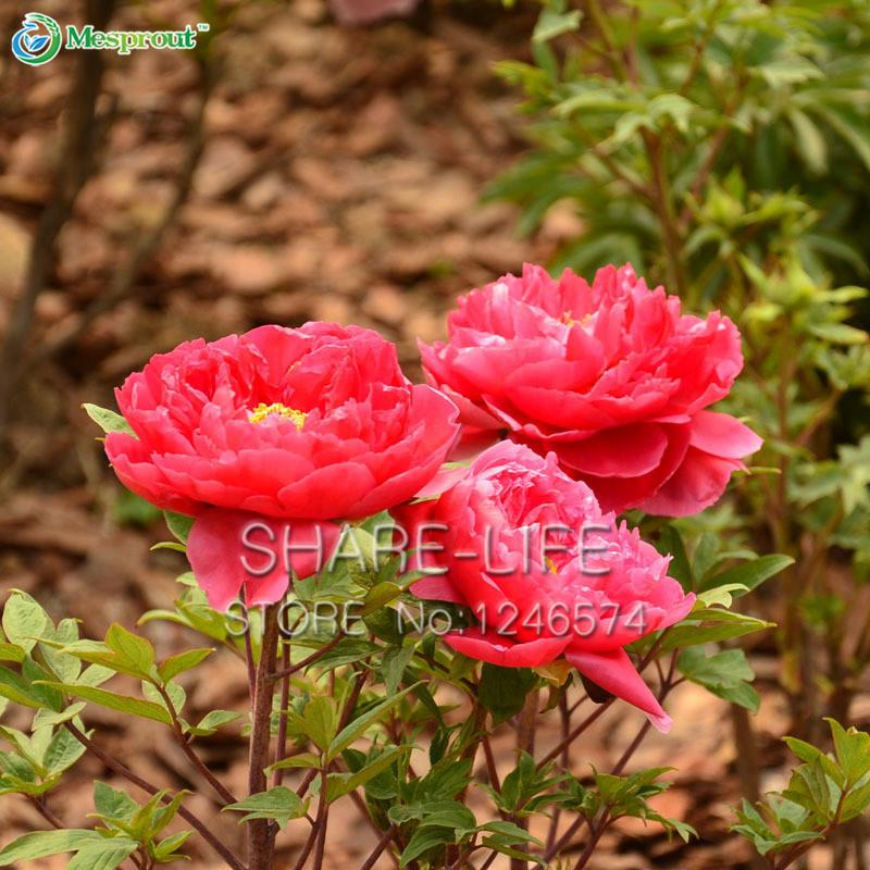 Very Beautiful Chinese Peony Flower Seeds Garden Seeds And Potted Plants Red Peony Seeds 10 particles