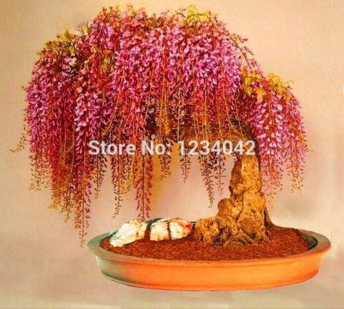 2021 Wholesalerare Gold Mini Bonsai Wisteria Tree Seeds Indoor Ornamental Plantsplant Bonsai From Lijiao 6 43 Dhgate Com
