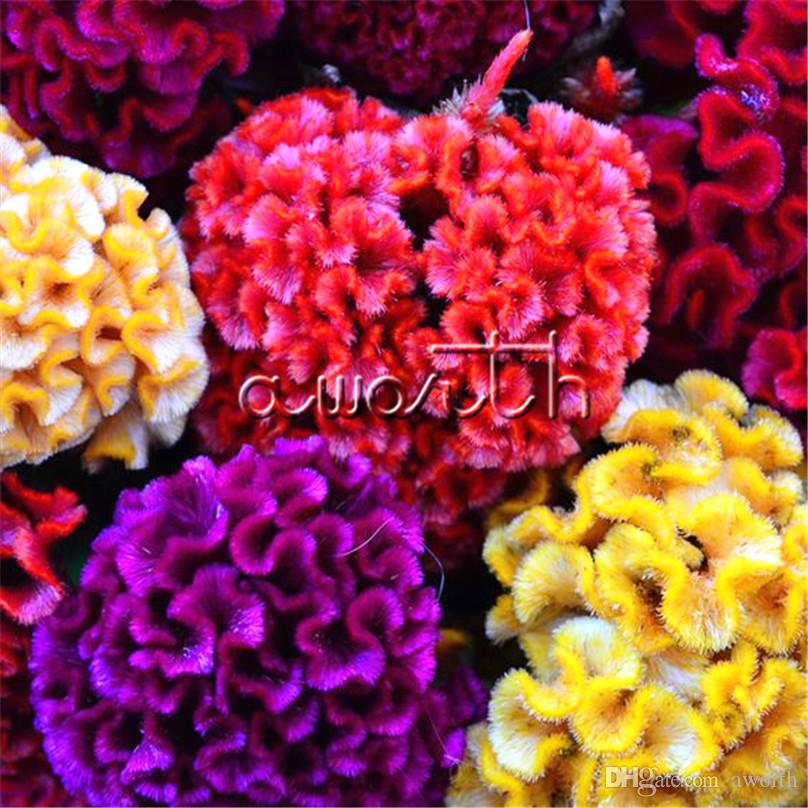 Colorufl Giant Cockscomb Celosia Flower 1000 Seeds Easy-growing DIY Home Garden Annual Flowering Plant High Germination Rate So Impressive