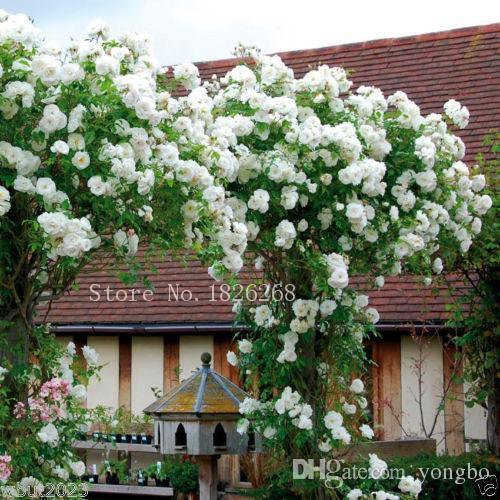 Mix Climbing Rose Seeds Bonsai Balcony Flower Potted Seeds DIY Home Garden 50 Partículas / lote P012