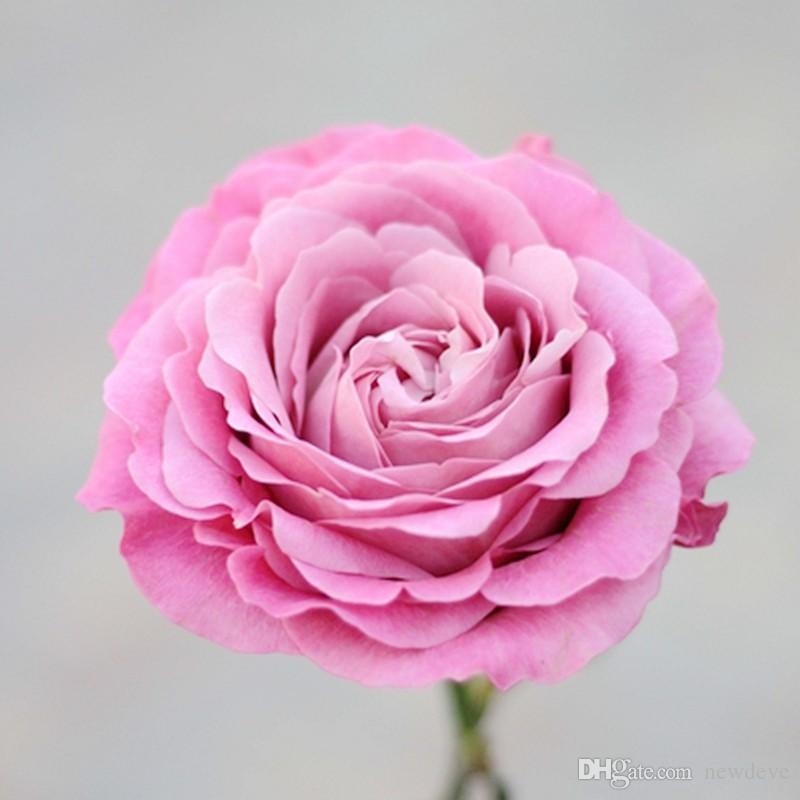Commercio all'ingrosso a buon mercato nuove varietà semi di fiori di rosa colorato 10 colori 100 semi per confezione splendida semi di fiori per il giardino