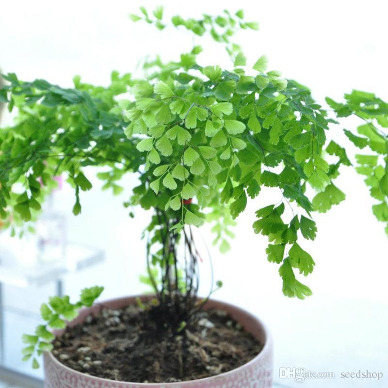 2020 Heirloom Organic Bag Ginkgo Biloba Gingko Maidenhair Tree