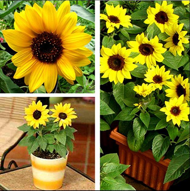 10 seeds mini sunflower Dwarf height 40cm Flower