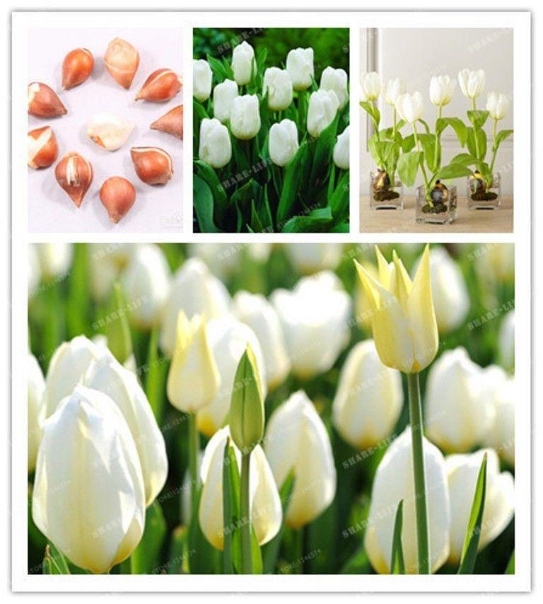 2020 Wholesale Bulbs True White Tulip Bulbs Not Tulip Seeds