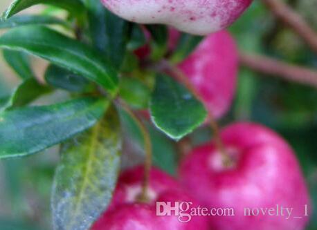 10Seeds Very Rare Red Apple LBerry Billardier aongiflora Organic Fruit Seeds