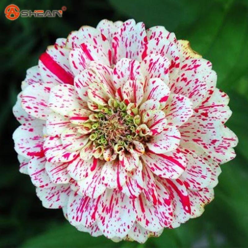 wholesale100 смешивания семян цинии многолетние красивоцветущие растения горшечные Charmingplant бонсай