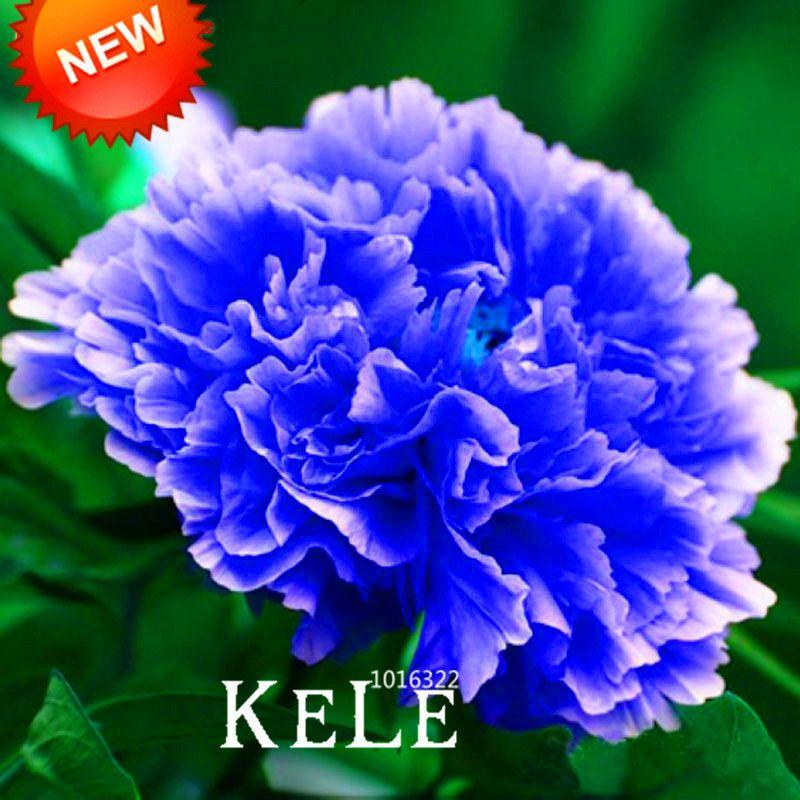 Meistverkaufte! Chinesische Seltene und Kostbare Arten von Blue Peony Blumensamen 10 partikel / lot, # BK40AY
