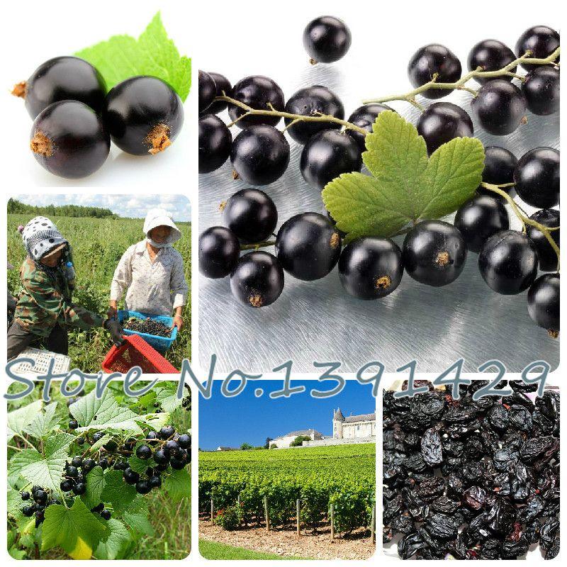 Il trasporto libero 100pcs semi della frutta del ribes nero Berry Bush Seeds