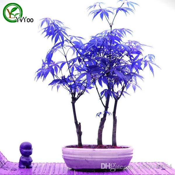 Bonsai tree MAPLE plant seeds 100% true seed in-kind shooting home garden plant 20 particles / bag