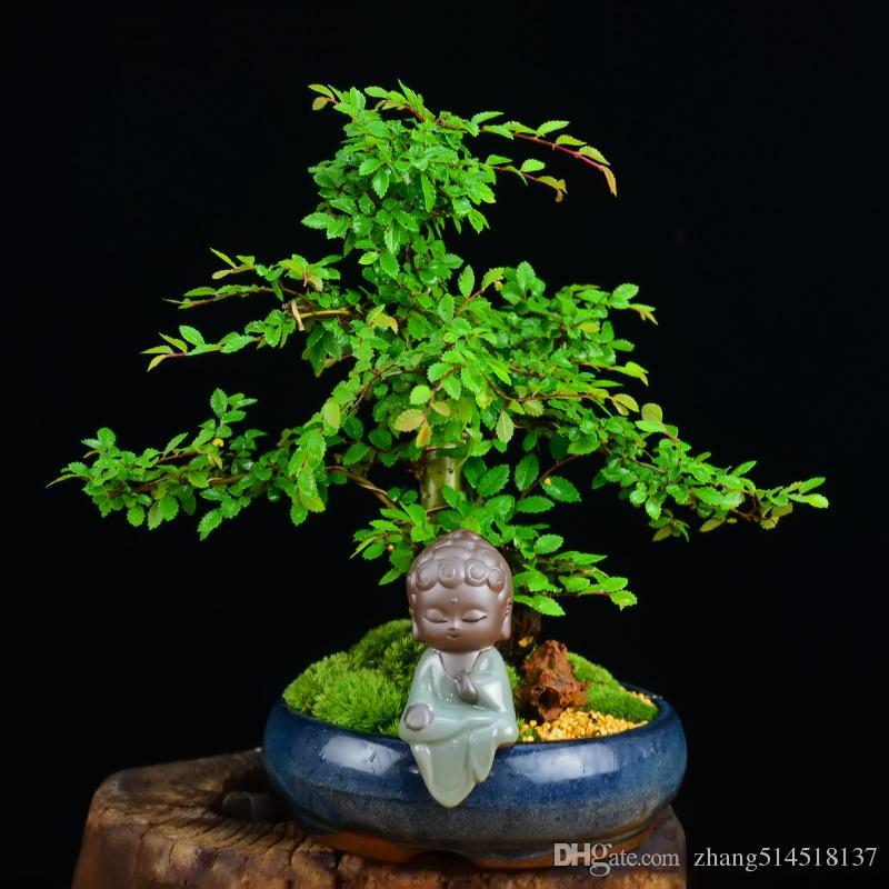 Ulmus Pumila Chinese Elm 50PCS Bonsai Tree Fresh Woody Perennial Outdoor Garden