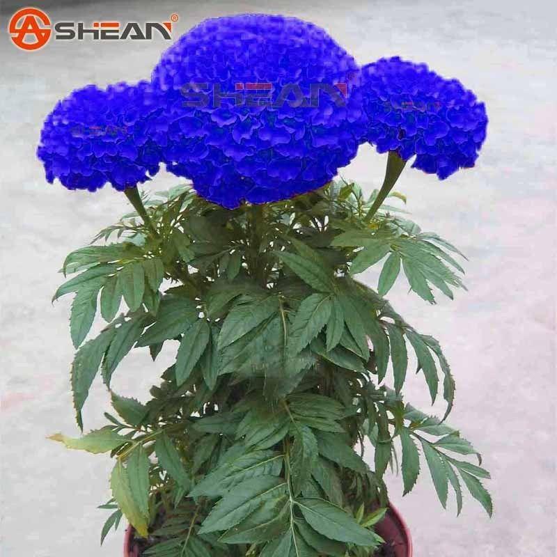 2021 Wholesale50 Blue Maidenhair Seeds Marigold Chrysanthemum Bonsai Seedsplant Bonsai From Lijiao 6 39 Dhgate Com