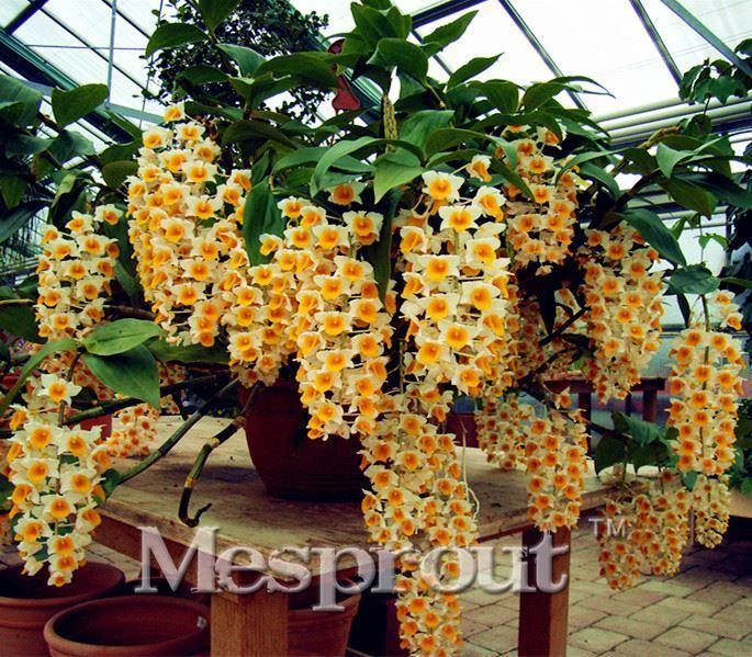 100Pcs Orchid Seeds Cymbidium Bonsai Rare Flower Plant Garden Balcony De US/_ HB