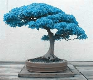 2021 Bag Bonsai Blue Maple Tree Seeds Bonsai Tree Seeds Rare Japanese Sky Blue Maple Seed Balcony Plants For Home Garden From Tangjf168 1 44 Dhgate Com