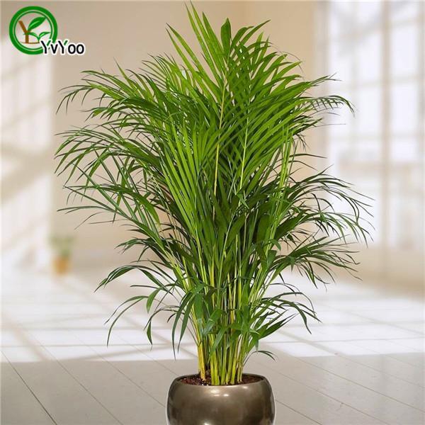 Piante Da Appartamento Bambu.Acquista 30 Semi Di Bambu Della Palma Piante Da Appartamento