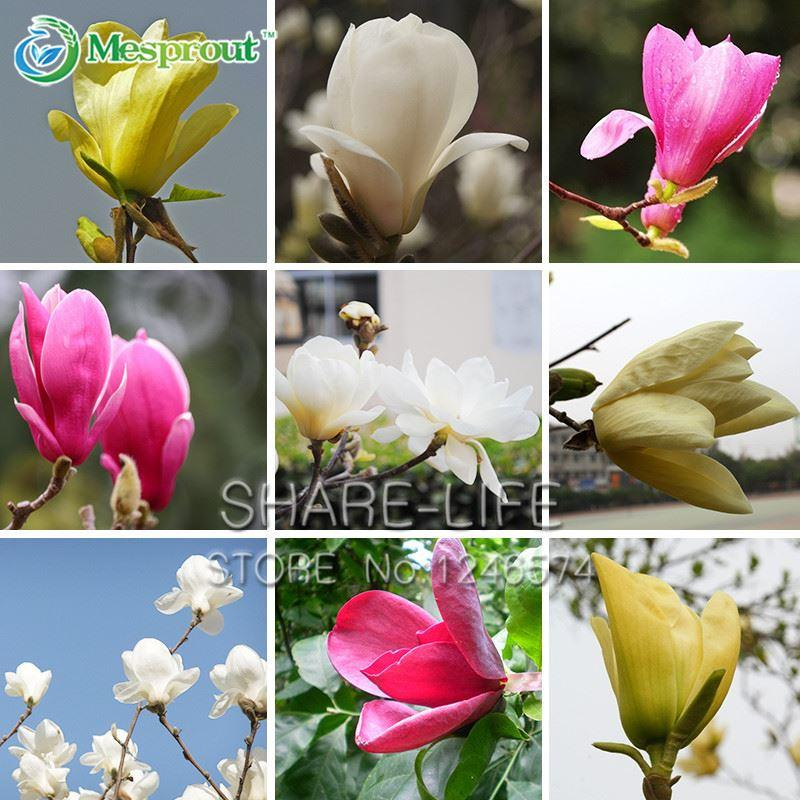 2020 Garden Plants Magnolia Seeds Bonsai Tree Seeds Of Perennial