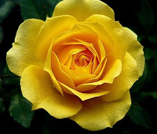 Rote Rosen Blumensamen Gartenpflanze