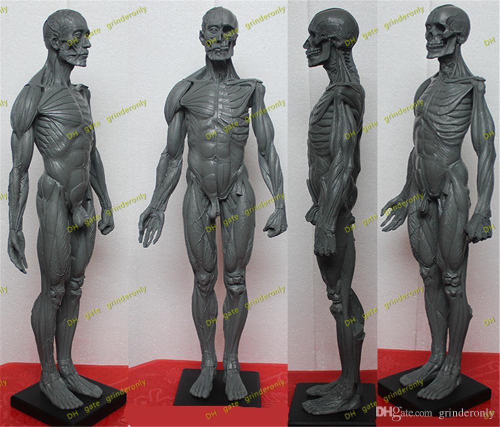 2018 Dental 45 Cm Male Male Figure: Art Pro V2a Anatomical Model Of ...