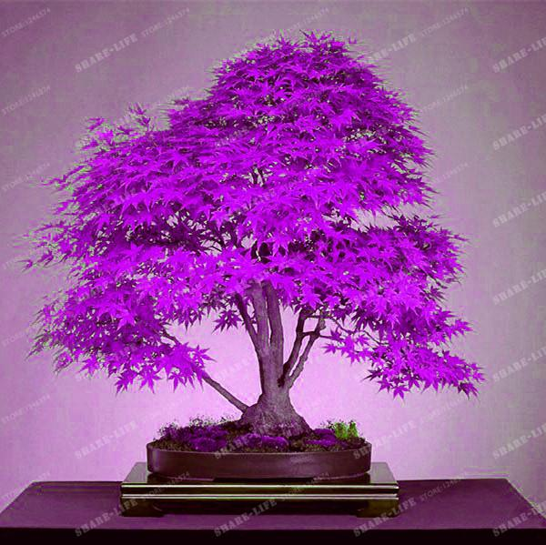 2021 100 True Japanese Purple Maple Bonsai Tree Cheap Seeds 20 Seeds Pack Very Beautiful Rare Bonsai Plants Tree From Framedpainting 5 82 Dhgate Com