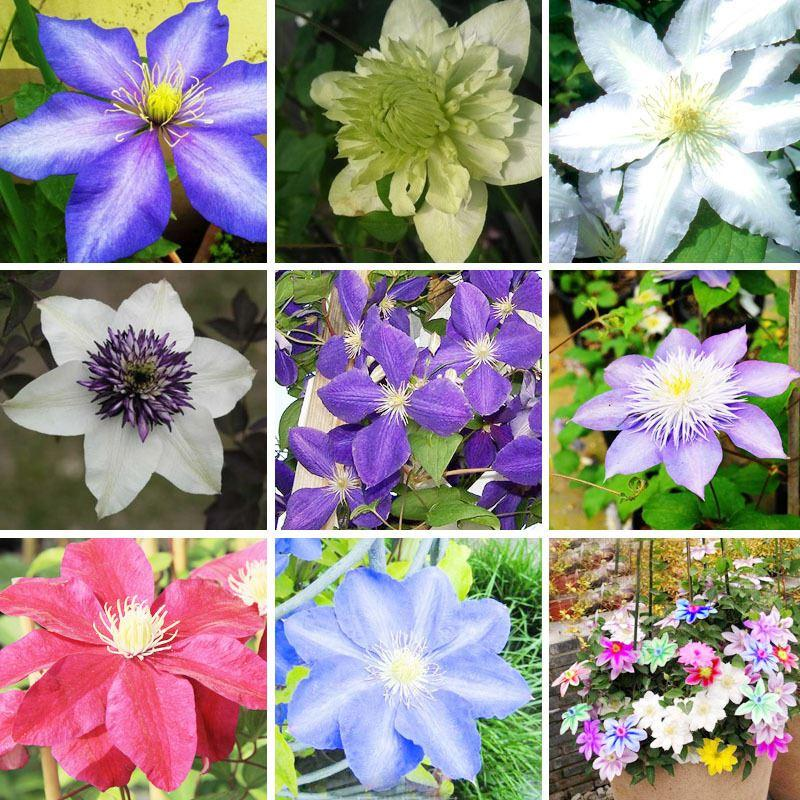 Climbing plant Clematis Hybridas Seeds Home Garden Balcony Potted Bonsai Clematis Flowers Seeds