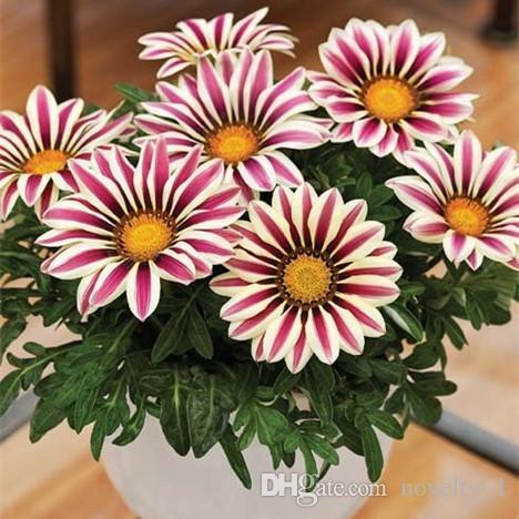 200 STÜCKE Gazania rigens samen Blumen Samen Für Bonsai Garten Balkon 2016 Freies verschiffen Semillas Gazania Splendens Chrysantheme