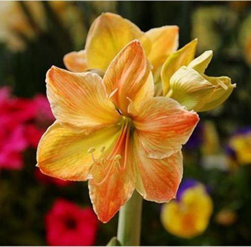 оптом красота! 2 шт. Желтый восход солнца синуса амариллис луковицы бонсай сад сад