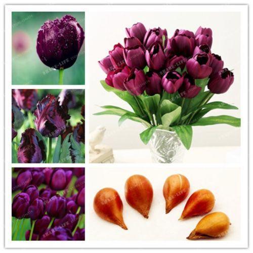 2020 Wholesalebulbs True Purple Tulip Bulbs Not Tulip Seeds