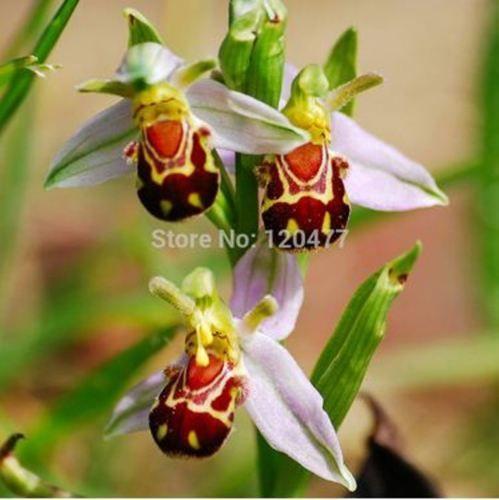 wholesaleSale!! Редкая пчела Орхидея семян цветок орхидеи семена 50 шт. / lotbonsai завод сад