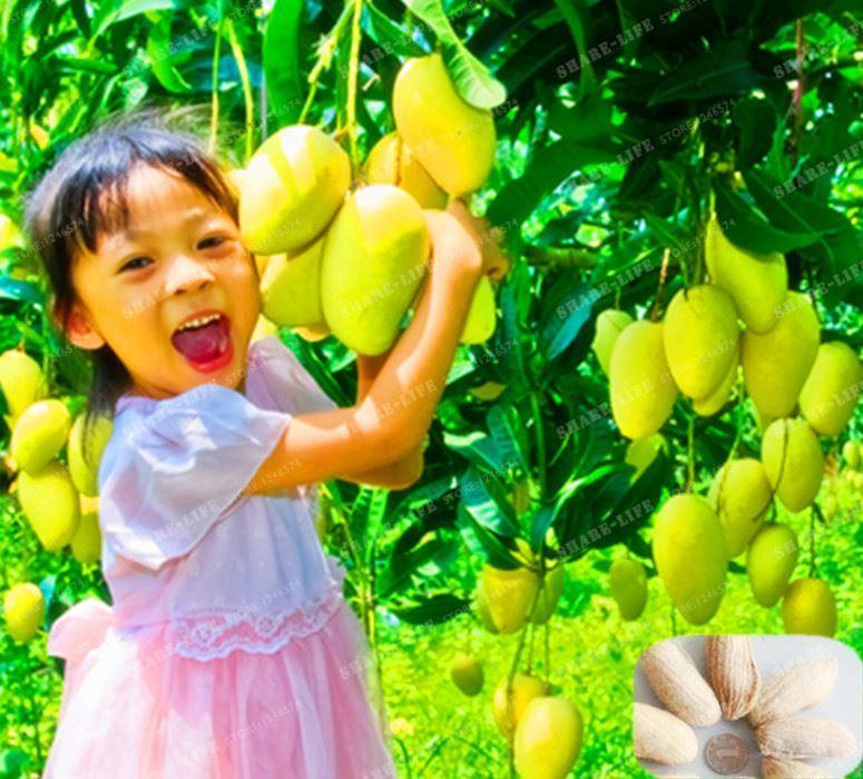 Sementes De Manga Orgânica Rara E Deliciosa Semente De Fruta Para Casa Jardim Plantas Sementes De Hortaliças De Frutas Pote De Plantas Para Casa Jardim 1 PCS