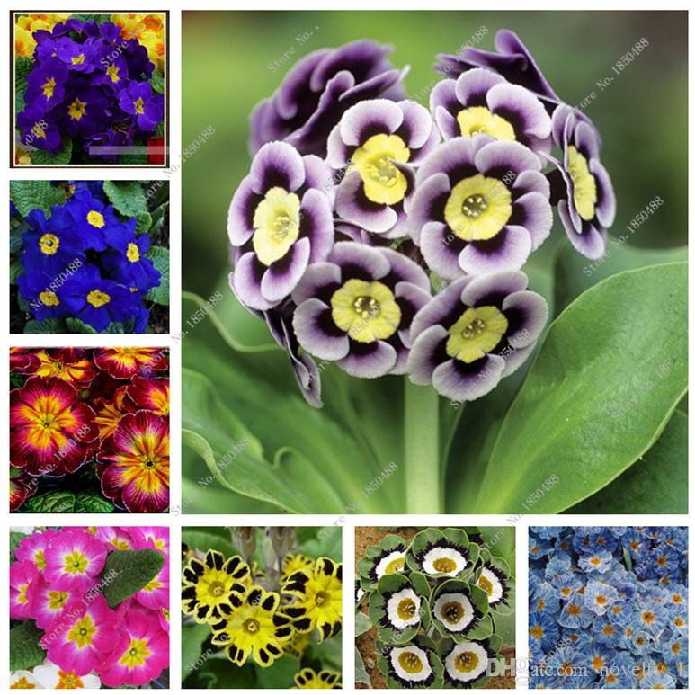 Blumen Topfpflanzen Vier Jahreszeiten Primel Primula Blumen Samen Samen 100pcs
