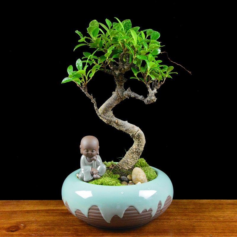20pcs banyan tree seeds bonsai holes, living room suction formaldehyde plants, potted plants, anti radiation ginseng fig, evergreen
