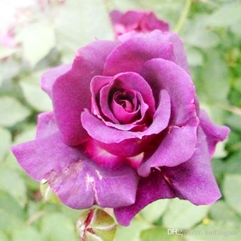 Free-Shipping New Varieties Hot Sale 13 Colors Rose Seeds *100 Pieces Seeds Per Package* Flower Seeds For Home Garden Plants