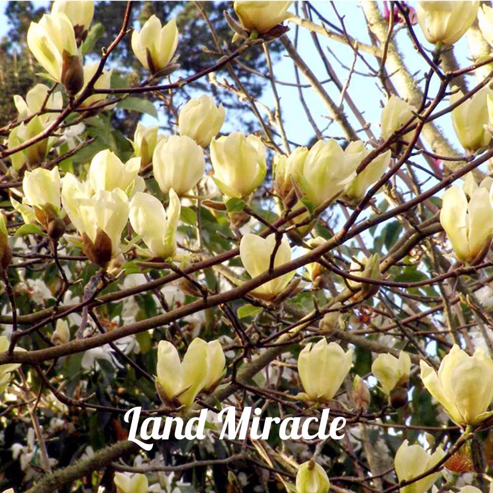 2020 Rare Chinese Yellow River Magnolia Flower Tree Plant Seeds