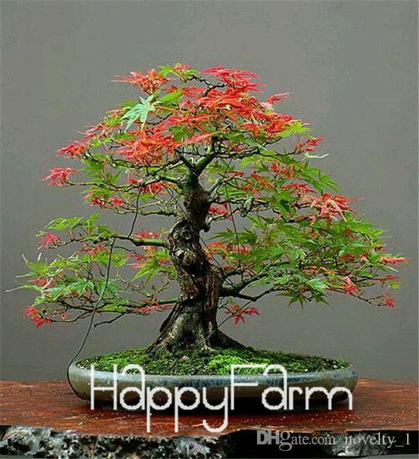 Japanese Red Maple Bonsai Tree Cheap Seeds, mini bonsai Seeds, 50 Seeds 11 kinds mixed, Very Beautiful Indoor Tree,#BR3KL
