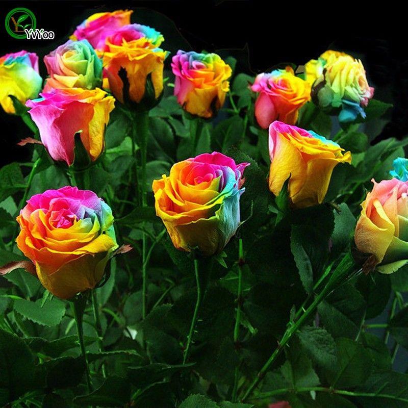 Bahçe bitkileri Güzel Gökkuşağı Gül Tohumları Çok renkli Gül tohumu açık bitkinin 30pcs R34