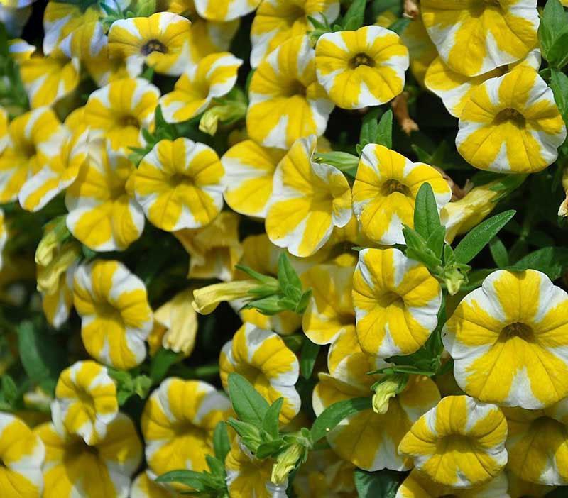 Escasos raras semillas de limón rebanada Superbells calibrachoa Petunia flor anual de 200 semillas / Paquete