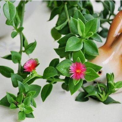 Bracketplant potted The peony bracketplant Indoor green potted ...