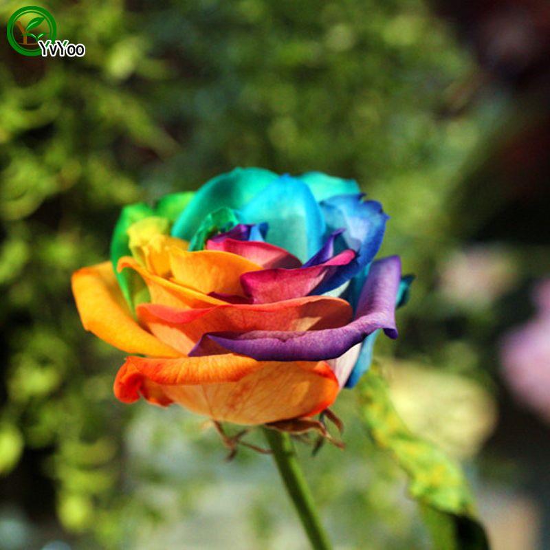 50 seeds rare holland rainbow rose seed flowers lover for Holland rainbow rose seeds