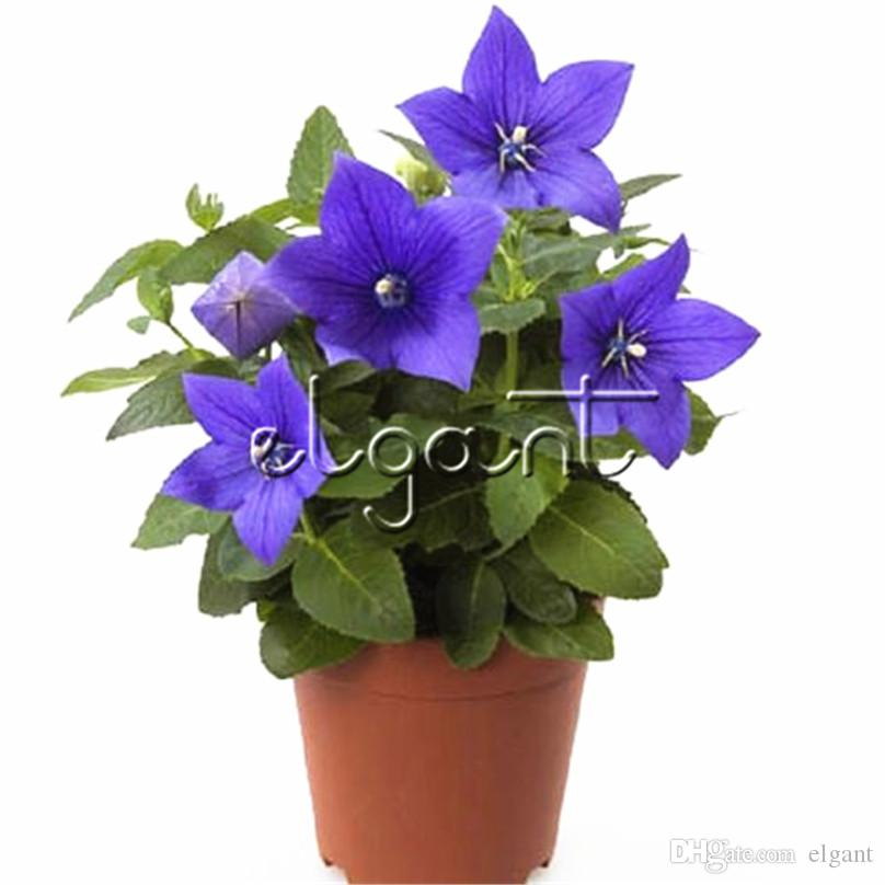 Balloon Flower Platycodon Grandiflorus Perennial Flower 500 Pcs Seeds for planting Easy to grow Popular for Flower Borders and Container