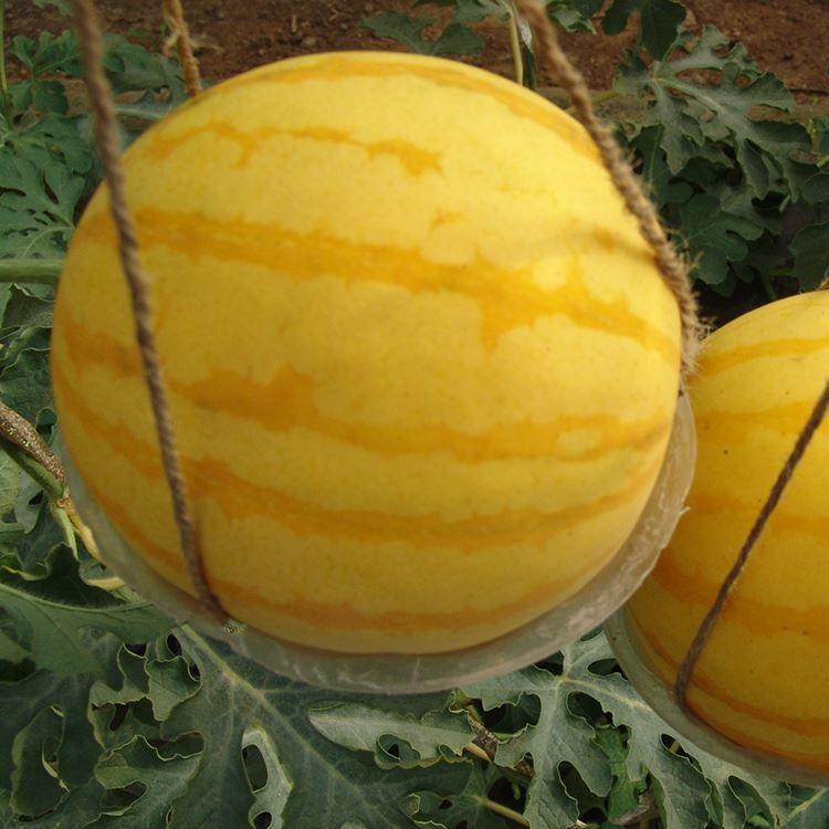 A Package 50 Pieces Seeds Unique Watermelon Seeds Bonsai Plants Water Melon Seeds Yellow Fruit