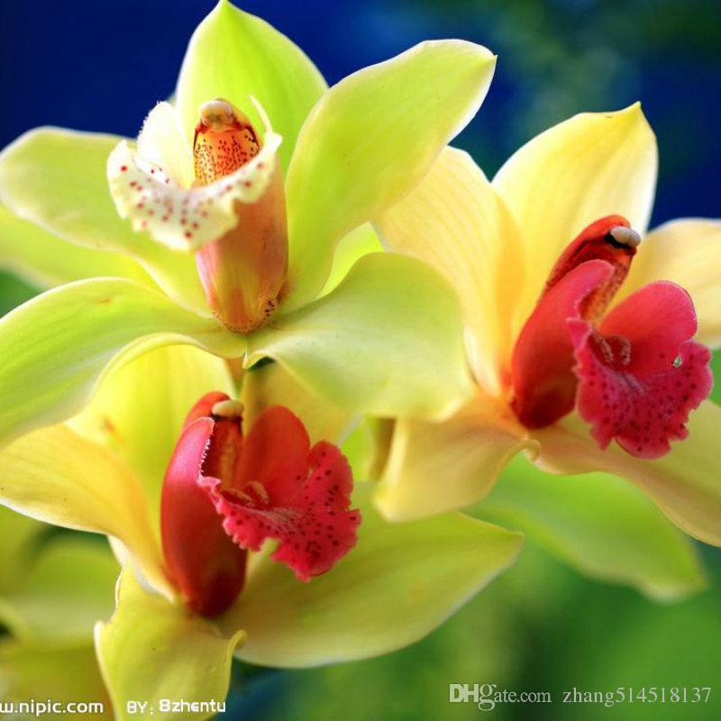 20 pcs Plante Bonsaï Graine Phalaenopsis Orchidées Graines De Fleurs Jardin