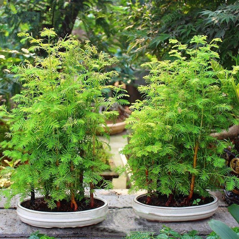 2021 Bag Dawn Redwood Bonsai Tree Grove Metasequoia Glyptostroboides Tree Seeds Potted Plant For Home Garden Easy To Grow From Beautifuldresschina 5 03 Dhgate Com