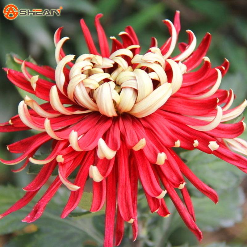 100 Pcs Rare Bicolor Red Yellow Seeds Chrysanthemum Morifolium Seeds DIY Gardening Flower Potted Plant