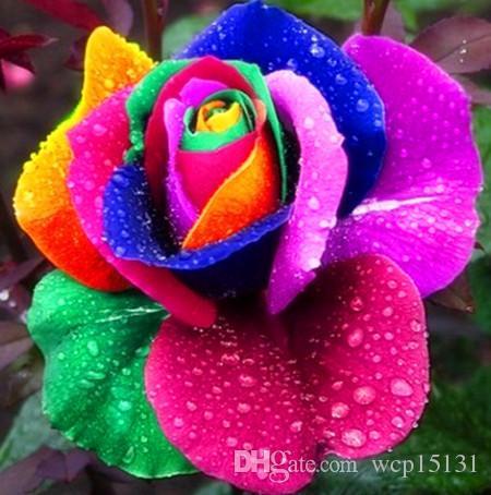 Regenbogen Rose sät Gartenpflanzensamen Planter Bonsai Pflanze Gemüsesamen stark duftend Indoor Bonsai Pflanze 100 Partikel Bonsai
