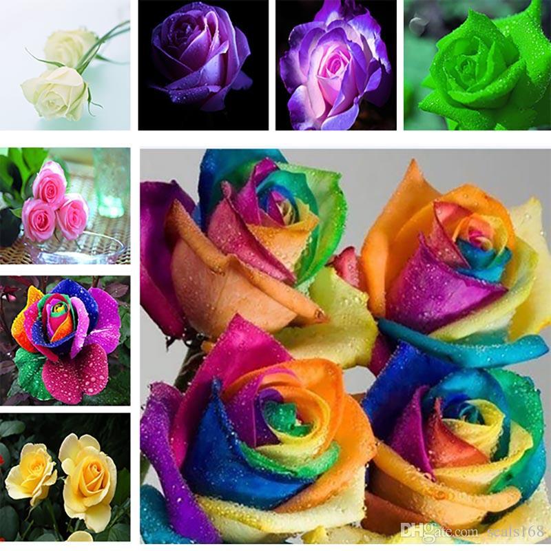 Las semillas del arco iris rosa colorida semillas de Rose envío Rojo Violeta Negro Blanco Rosa Azul Verde Amarillo semillas color de rosa 100pcs / bag HH7-141