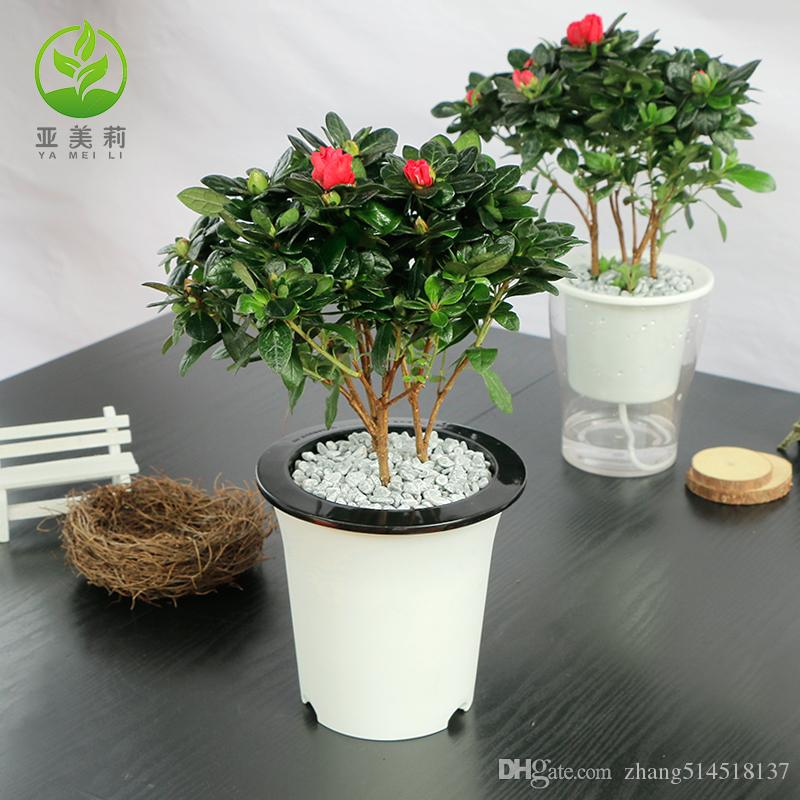 2020 Seeds Of Rhododendron Potted Plant Flower Seed Plants Indoor Hydroponic Plants Azalea Rhododendron Potted Green Plants Bonsai From Zhang514518137 17 59 Dhgate Com