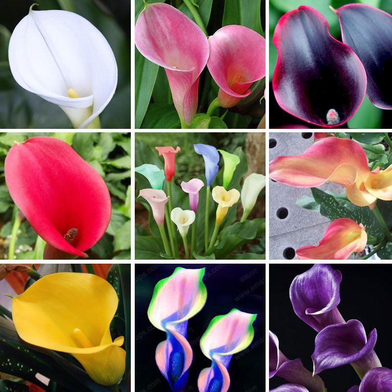 10 Sorten für Sie zu wählen Calla Samen Balkon Topfpflanzen Bonsai Patio Pflanzensamen Aethiopica Blumensamen Ein Paket 100 Stück