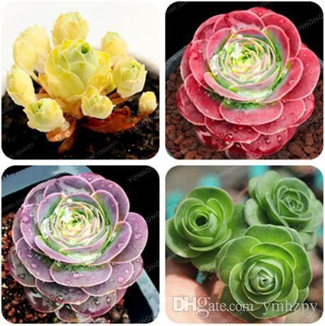 The Mountain Rose 100 Pcs Green Rose Garden Greenovia Flower Seed Seeds Bonsai Succulent Plant Meaty Plant Flower Seeds Semillas