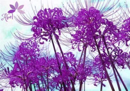 * HOT * Purple Lycoris Bulbs Lycoris Radiata flor planta bonsai - 5 bulbos