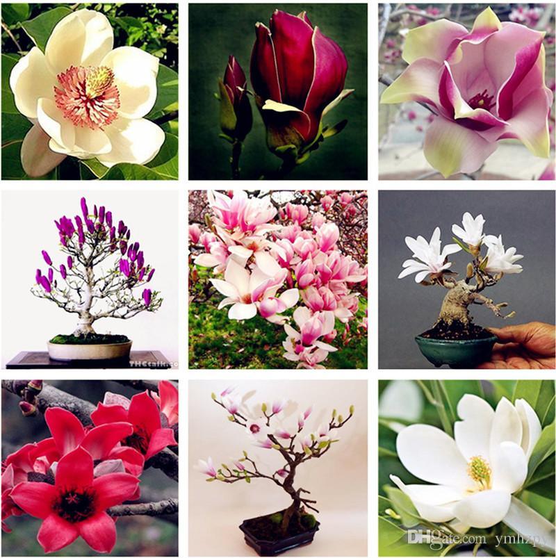 2020 Promotion Bag Magnolia Flowers Seed Beautiful Tree